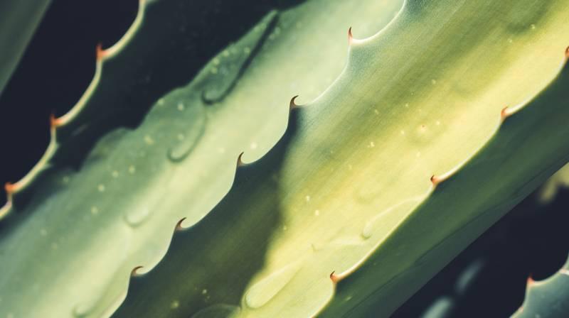 Aloe-vera-Spa-serenitas-spa-plant
